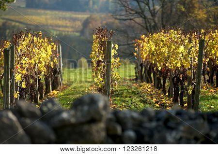 Vineyard in autumn Saint Emilion, Bordeaux France