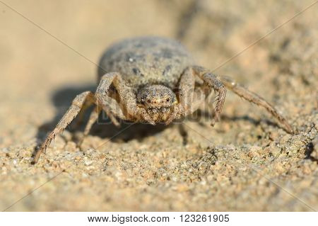 Crab spider in Azerbaijan camouflaged against desert. A spider most likely in the family Thomisidae, coloured to blend in against dry ground on hills near Baku, capital of Azerbaijan