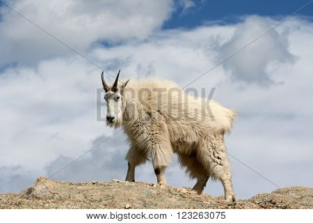 Mountain Goat on top of Harney Peak in Custer State Park in the Black Hills of South Dakota USA