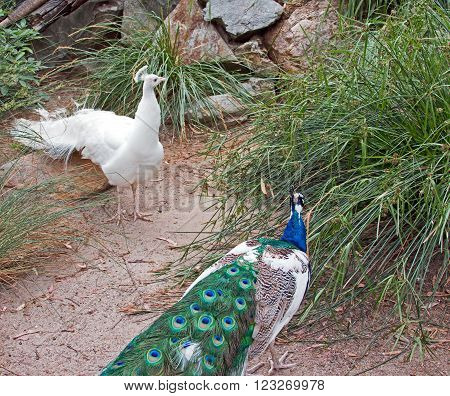 Peacock and Albino Peacock facing off to fight each other in the  mountains near Adelaide Australia