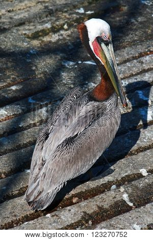Pelican at waters edge at boat launch in Cabo San Lucas Baja Mexico harbor