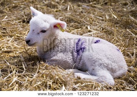 Sheffield, UK - April 16: Close up on a newborn baby lamb in the lambing sheds on 16 April 2014 at Whirlow Hall Farm, Sheffield