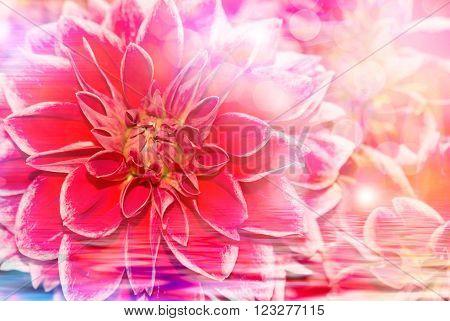 Close up of fresh beautiful gerber flower