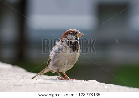 Disheveled house sparrow standing on the stone