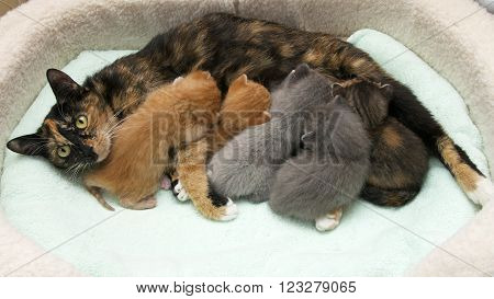 Mother torbie tortie tabby cat nursing five one week old kittens in a small pet bed with light green blanket, mom looking up