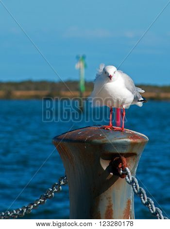 Seagull fluffling out his feathers in Port Albert seaside Harbor Victoria Australia