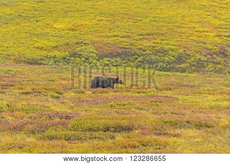 Grizzly Bear in Tundra in the Fall in Denali National Park in Alaska
