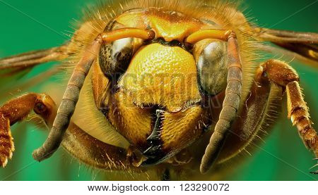 Hornet on green Background  -  Vespa crabro