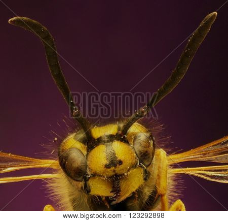 Common Wasp on violet Background  -  Vespula vulgaris