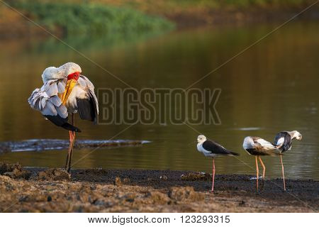 Specie Mycteria ibis family of Ciconiidae, yellow billed stork fishing in the riverbank in Kruger park