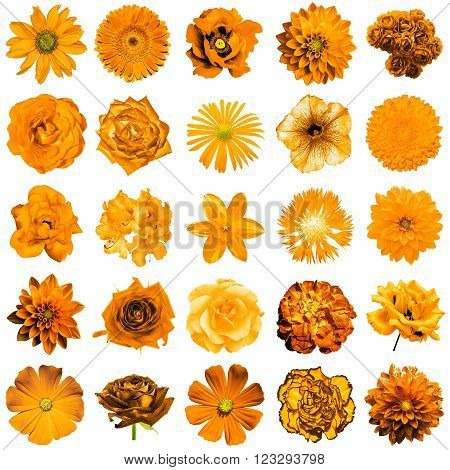Mix collage of natural and surreal orange flowers 25 in 1: peony dahlia primula aster daisy rose gerbera clove chrysanthemum cornflower flax pelargonium isolated on white