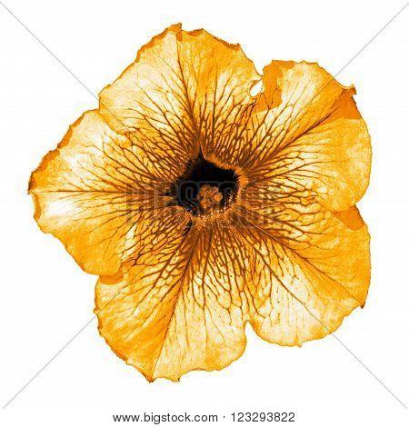 Orange Althea Flower Macro Isolated On White