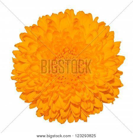 Orange Chrysanthemum (golden-daisy) Flower Macro Photography Isolated On White