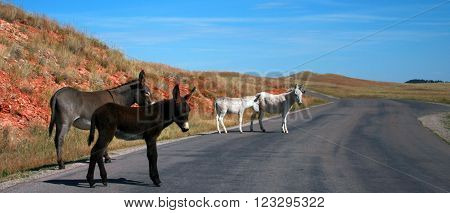 Wild Donkey Herd in Custer State Park in the Black Hills of South Dakota United States