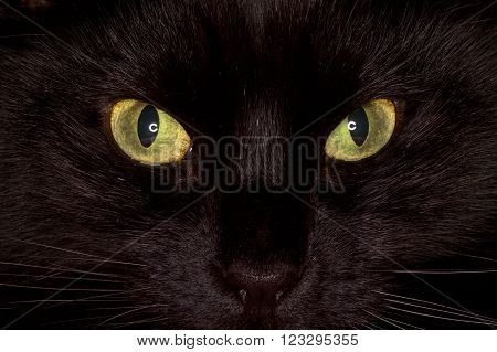 Black cat with yellow eyes staring into camera