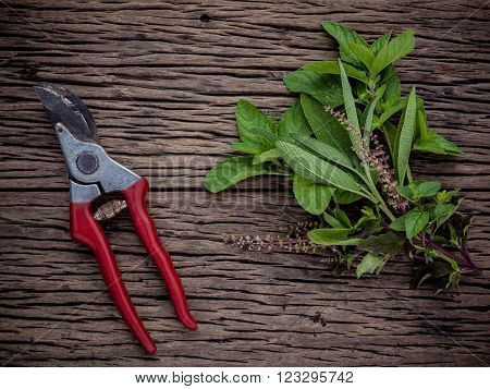 Branch of fresh herbs from the garden. Holy basil flower ,oregano, sage and mint with garden pruner on rustic wooden background.