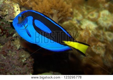 Regal Tang swimming among rocks in an aquarium