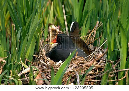 Moorhen sat on nest among the reeds