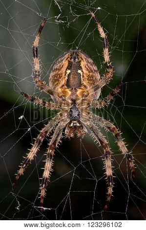 Close up of a Diadem Spider aka European Garden Spider