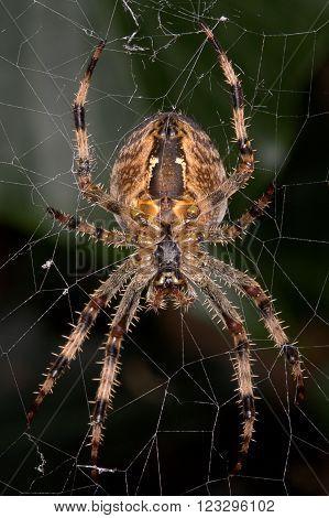 Close up of a Diadem Spider aka European Garden Spider ** Note: Soft Focus at 100%, best at smaller sizes