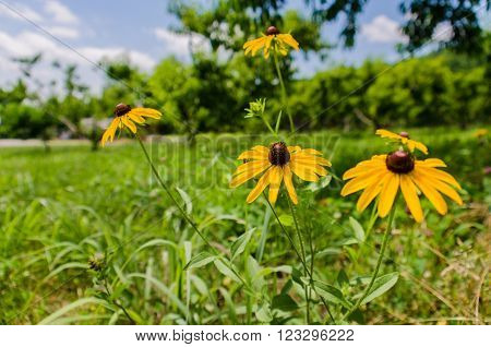 Black-Eyed Susan Flowers in a field of Apple and Peach Trees during the summer