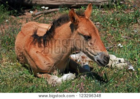 Wild Horse Mustang Buckskin Baby Colt Foal on Pryor Mountain Montana USA