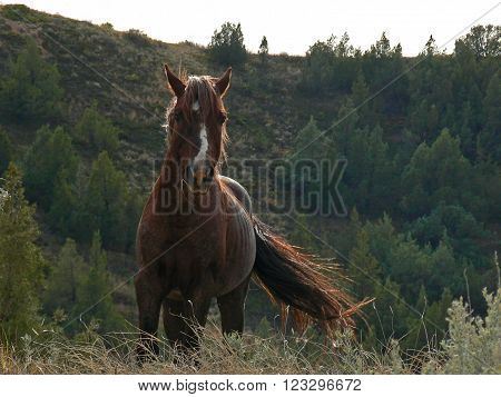 Wild Horse Stallion in Theodore Roosevelt National Park in North Dakota USA