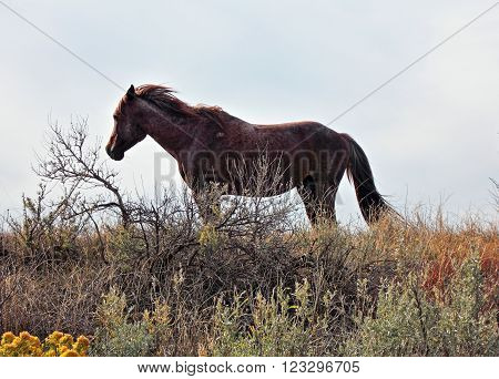 Wild Horse Mustang Stallion in Theodore Roosevelt National Park near Dickinson North Dakota USA