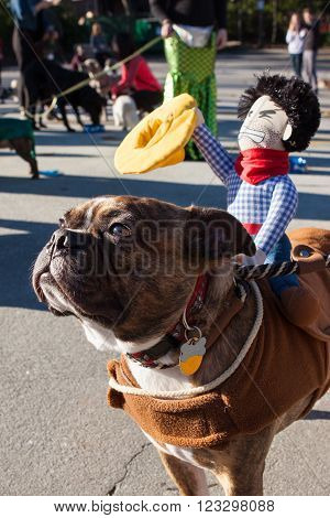 ATLANTA, GA - DECEMBER 5 2015:  A dog wears a cowboy doll on its back after participating in a dog costume parade in Atlanta, GA on December 5, 2015 .