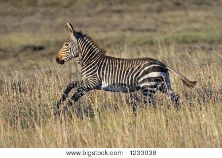 Cape Mountain Zebra Foal Running