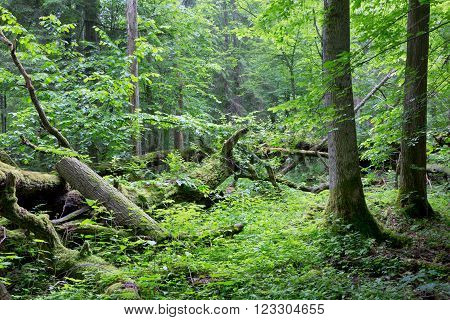 Old oak tree broken lying and old natural deciduous stand of Bialowieza Forest in background,Bialowieza Forest,Poland,Europe