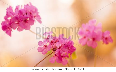 Beautiful pink pelargonium flowers on a sunlight.