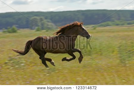 lovely handsome stallion rushes gallop on the field