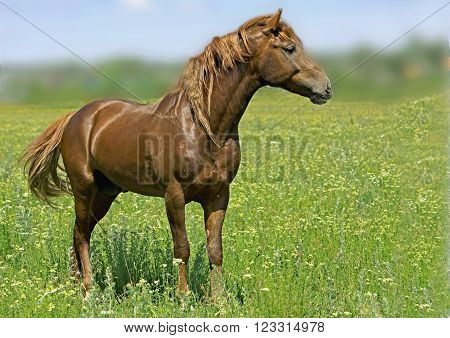 big handsome stallion on a green meadow