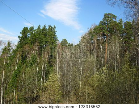 Forest And Sky