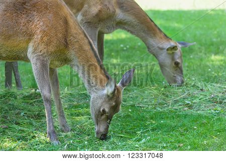 Two grazing hinds or red deer female animals on hot summer grassland
