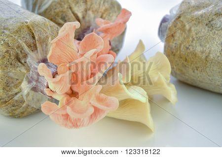 Organic Pleurotus djamor or pink oyster mushroom growing on mushroon loaf on white background.