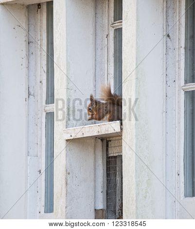Red squirrel sciurus vulgaris sitting in window frame