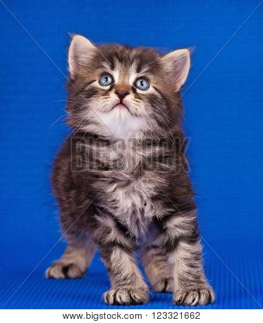 Cautious little siberian kitten over blue background