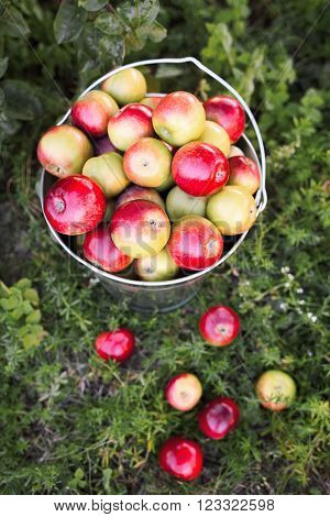 Scattered ripe apples harvest on garden grass.  Full bucket with the red and yellow apple harvest is on the green grass in the garden.