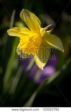 Closeup of a beautiful Daffodil on dark background