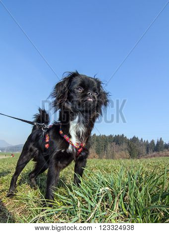 Picture shows a young pekinese dog in the nature