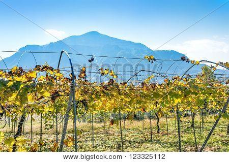 Vineyard near Nikko city Tochigi Prefecture Japan.