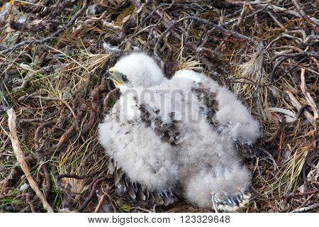 White Fluffy Nestling Birds Of Prey