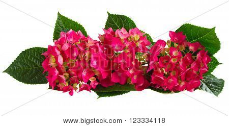 Row of Fresh pink hortensia flowers isolated on white background