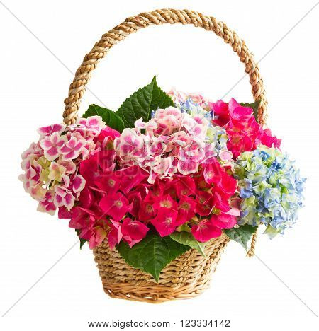 basket with bunch of pink and blue hortensia flowers in pot isolated on white background
