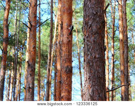 pine forest , sunny day , the smell of pine needles on a pine tree woodpecker