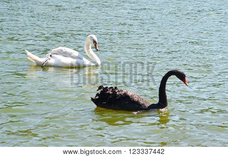 Black and white swans swim on the lake