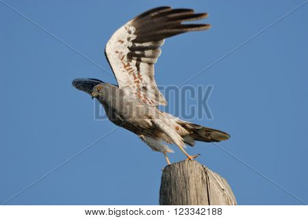 Male Montagu Harrier (Circus pygargus) takeoff. Saratov region Russia