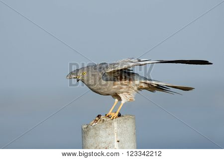 Flapping wings perching male Montagu Harrier (Circus pygargus). Saratov region Russia